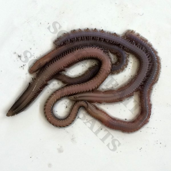 White Ragworm (single)