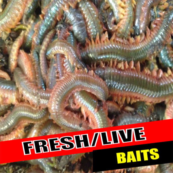 SOLENT BAITS FRESH AND LIVE BAIT